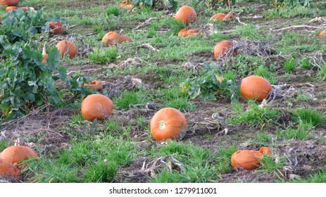 Field full of Pick Your Own pumpkins for sale to general public in Danish January sunshine