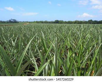 Field full of pineapples growing on the farm in the tropics of central america - honduras the caribbean