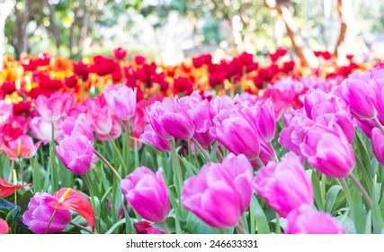 Field full of pink tulips in spring