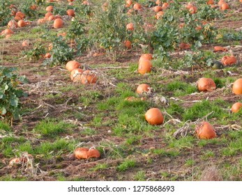 Field full of pumpkins for sale to general public in Danish January sunshine