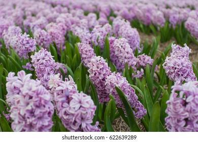 Field full of purple Hyacinths
