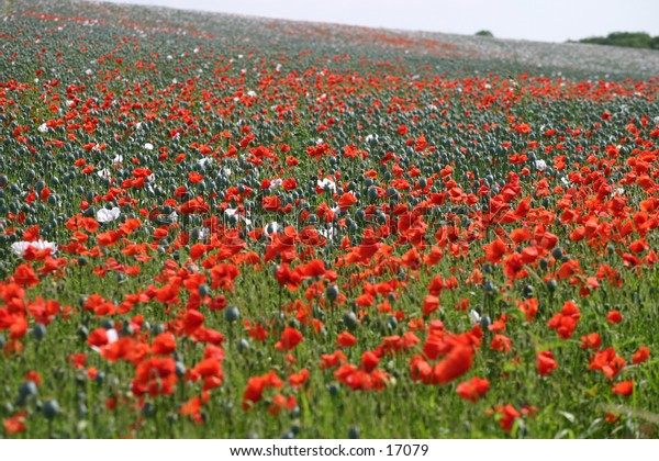 Field full of red oriental poppies