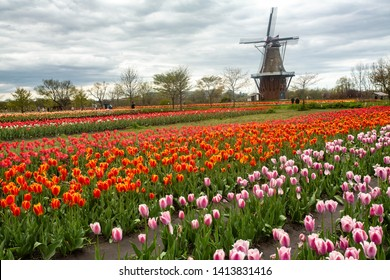 Field full of springtime Tulips and windmill in Holland Michigan
