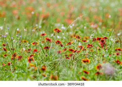 A Field Full of Texas Indian Blanket (or Fire Wheel) and Indian Paintbrush.  Gaillardia pulchella (Asteraceae).