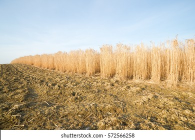 Field of fully grown hibernated mature elephant grass in springtime as high yielding energy crop
