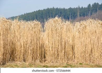 Field of fully grown hibernated mature elephant grass in springtime as high yielding energy crop