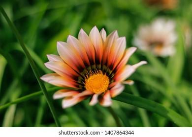 field of Gazania. Gazania Flowers background in the spring