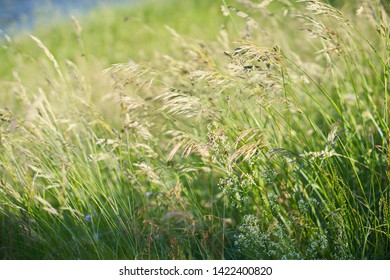 Field of gold in early summer - wild wheat meadow with bokeh background and beautiful natural lighting.