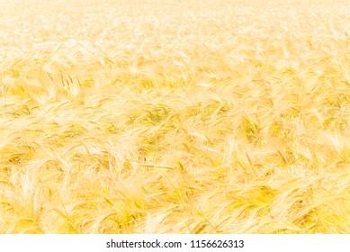 Field of golden barley (Hordeum vulgare) on a sunny summer day.