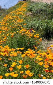 Field of Golden, California poppies in a super bloom