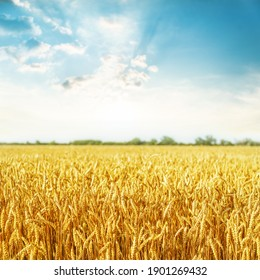 A field of golden color with ripe wheat at sunset. Soft fucus on field.