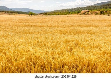 Field of Golden Oat