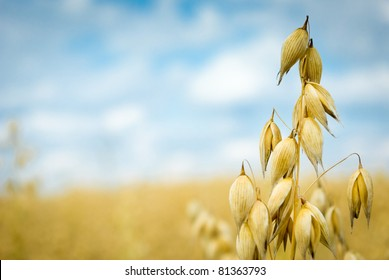field of golden oats and blue sky, agricultural field