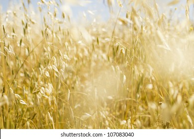 Field of golden oats in summer