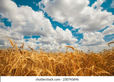 field golden ripe wheat on a background of blue sky with clouds