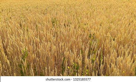 Field of golden wheat. Grain field & weeds. Green bindweed in a yellow bread wheat field. Ripe wheat on a sunny day. Field bindweed among cereal stalks. Brownish yellow grainfield & green convolvulus.