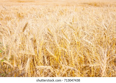 Field of Golden Wheat Ready For Harvest in Canadian Prairie