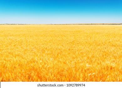 Field of Golden wheat under the blue sky .