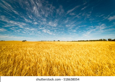 Field of Golden wheat under the blue sky and clouds