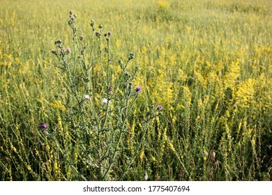 Field of goldenrod yellow flowers and thistle in bloom. Natural floral background. Selective focus