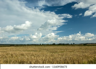 Field of grain, horizon and white clouds in the sky