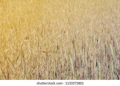 Field of grain, sunset style image