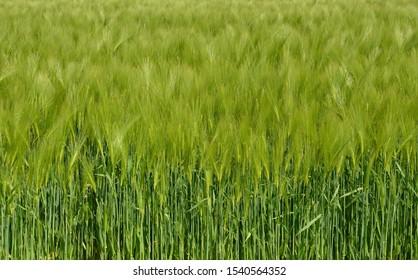 field-grain-sunshine-260nw-1540564352.jp