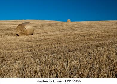 Field of grain in Tuscany,Italy