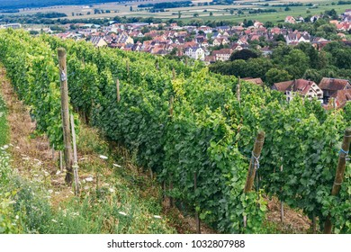 field of grapes in France, grape bushes growing in rows