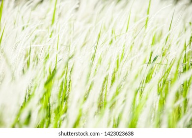 Field of grass for the background