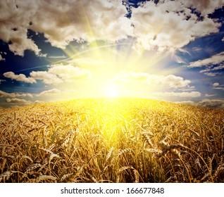 field of grass. meadow wheat under sky