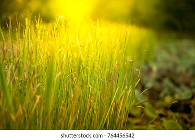 field grass with sunshine and green blur background