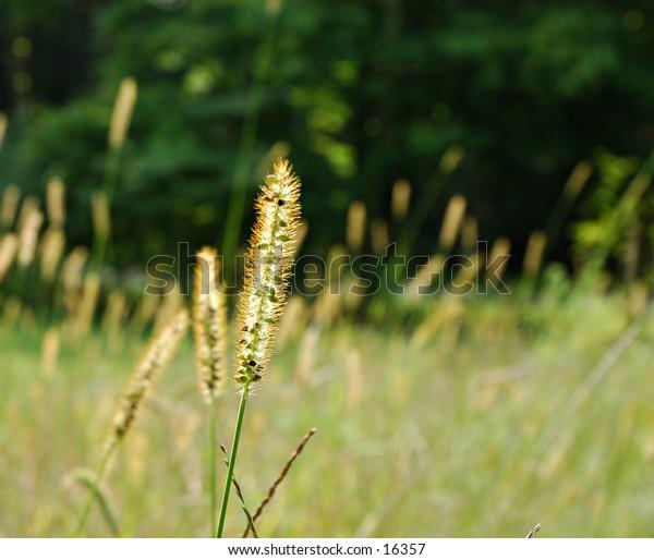 Field of Grass Wheat