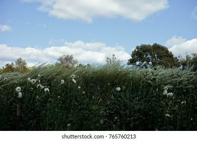 Field of grass and white dahlias
