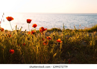 Field with grasss and red poppies against the sunset sky by the sea