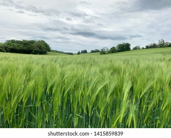 Field of green barley with horizon and clouds
