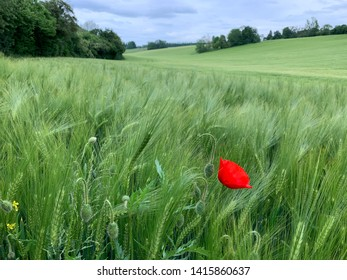 Field of green barley with red poppy, horizon and clouds
