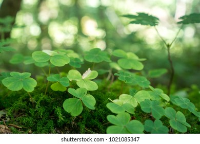 Field of green clover detail on the forest floor. Saint Patrick decoration.