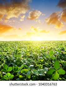 Field with green clovers at sunset.