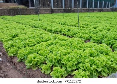 Field of green fresh lettuce growing at a farm.