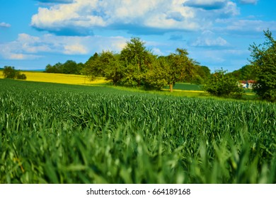 Field with green grass, blue sky and rape fields in background