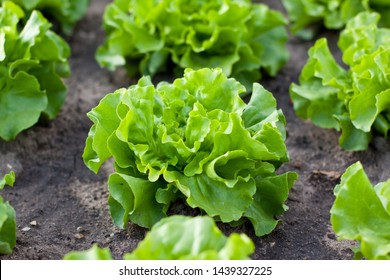 Lettuce Growing Images Stock Photos Vectors Shutterstock