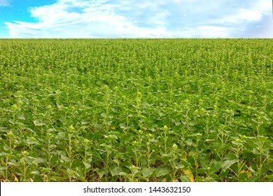 A field of green sunflower and growing grass in spring in windy weather
