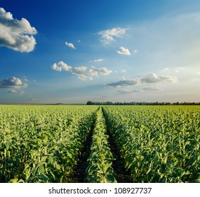 field with green sunflowers under cloudy sky in evening