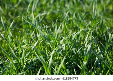 The field of green wheat.