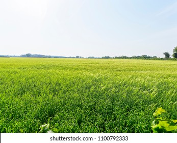A field of green wheat stalks swaying in the wind under the pale early morning sky