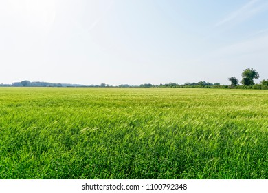 A field of green wheat stalks swaying in the wind under the early morning sky