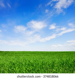 Field of green wheat in a  sunny spring  day.
