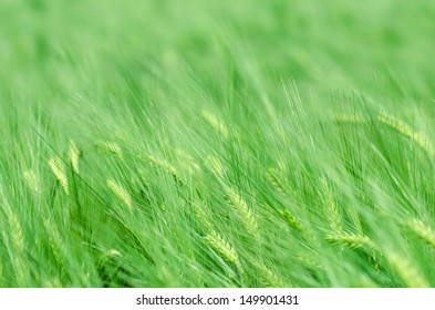 Field of green wheat in the wind