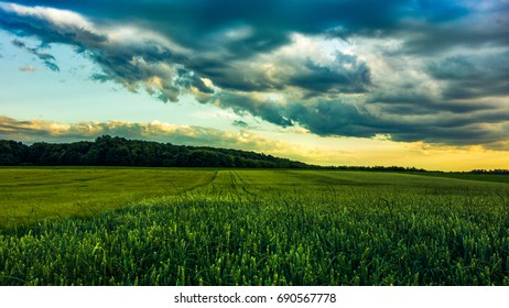 Field with green young wheat